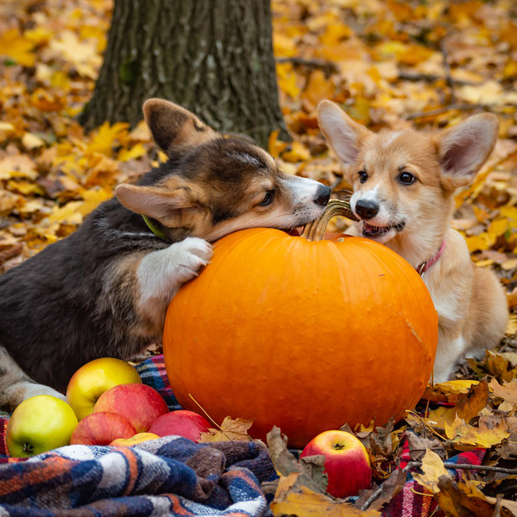Apples, Pumpkins, and Cute Welsh Corgis
