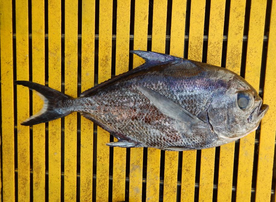 Sickle Pomfret